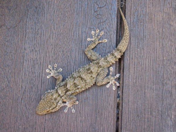 geckomonsaraz.jpg